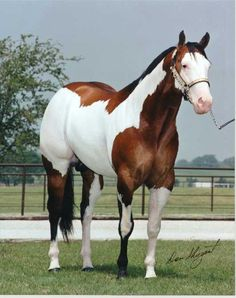 Hot Scotch Man- APHA champion and producer of champions