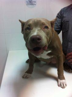 Trebol es un cachorrito de American Bully que viene a ponerse el microchip, es un trocito de pan!