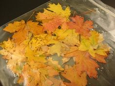 "How to preserve fall leaves: Mix 1/2 cup water with 1/4 cup vegetable glycerin. Put your rinsed off leaves into a large Ziplock & pour the solution over them, making sure leaves are all flat. ""Marinate"" 3-4 days. Take them out & blot dry."