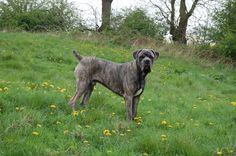 I really want a female blue eyed brindle Cane Corso Mastiff and call her Proserpina (which is the Roman name for the Goddess Persephone)