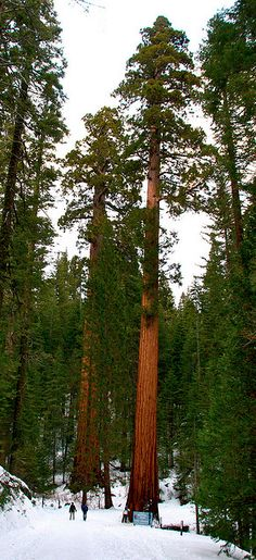 Soaring sequoia trees at Mariposa Grove of Giant Sequoias in Yosemite National Park, California • photo: Michael J. Slezak on Flickr