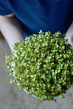 Pääsiäisruoho sinapinsiemenistä - Minttua ja mustikoita Spring Ahead, Diy Flowers, Me Time, Spices, Food And Drink, Herbs, Easter, Garden, Deco