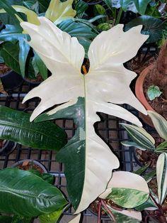 Patio Plants, Cool Plants, Green Plants, Indoor Plants, Rare Plants, Exotic Plants, Tropical Plants, Gothic Garden, Alpine Plants