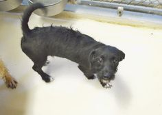 10/01/15-ODESSA, TX - URGENT - Speaking Up For Those Who Can't September 18 · Carl is a Poodle mix male less than a year old Kennel A7 $51 to Adopt ADOPT/RESCUE/FOSTER Located at Odessa, Texas Animal Control. Must have a valid Drivers License and utility bill with matching address to adopt. They accept Credit Cards, cash or checks. We ARE NOT the pound. We are volunteers who network these animals to try and find them homes. Please send us a PM if we can answer any questions for you. FEE