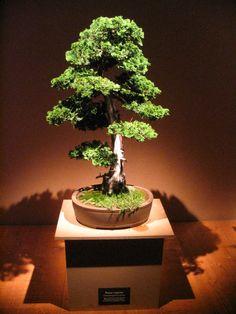 File:Bonsai IMG 6404.jpg