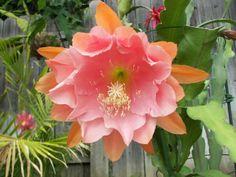 Orchid Cactus Epiphyllum 'Doris Pittman', lovely shade of apricot