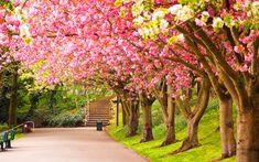 Primavera en el parque con los Cerezos en flor.