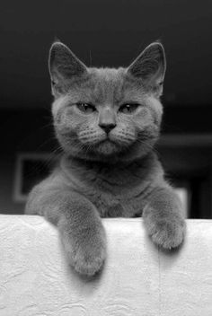 Cat Scottish Fold, Grey Kitten, Guilty Dog, Laughing Cat, Owning A Cat, Monty The Cat, Cat Facts, Cat Grooming, Cat Breeds