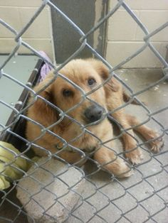 Angels Among Us Pet Rescue: URGENT DOG IN NEED! We just heard that 20 (yes, 20!) dogs are on the urgent PTS list at just ONE local shelter. Without rescue, this gorgeous dog will die within the next day. He is a big hunk of love; a golden retriever/mountain dog mix, 2-3 years old, 100 lbs, who shelter volunteers say is literally shaking like a leaf in his kennel from fear. www.facebook.com/photo.php?fbid=10151586652397912=a.272202117911.143112.271191497911=1_count=1=nf