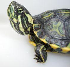 Turtle (photo by maari.ana).