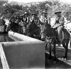 Members of the Pioneer Platoon of The Royal Canadian Regiment watering their mules near Regalbuto, Italy, August 4, 1943