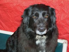 Meet+Suzie+-+on+trial,+a+Petfinder+adoptable+Spaniel+Dog+|+Meadow+Lake,+SK+|+Suzie+was+found+roaming,+seemingly+lost+out+in+the+country+north+of+Meadow+Lake+for+several+days;...