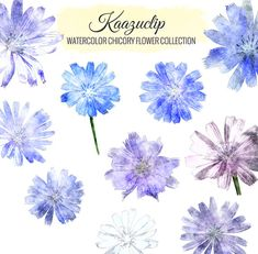 Watercolor Chicory Flower Collection  Commercial and by kaazuclip