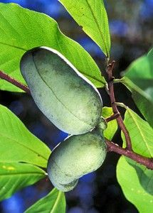 Browse our wide selection of Pawpaw tree varieties. Buy larger size plants, get fruit sooner.