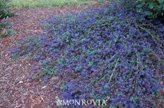 **Ground cover**-  Deep cobalt blue flower clusters cover this low mounding evergreen shrub in spring, providing a striking display. Small glossy dark green foliage on sprawling branches forms an attractive, easy-care ground cover. Planting in mass on slopes or under outer canopy of large trees. Considered to be more heat-tolerant than C. griseus horizontalis. Drought tolerant once established.
