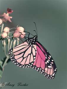 Elegant pink and black butterfly