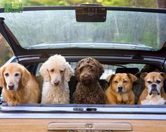 Dogs in a car -- Curated by: Enterprise Glass Ltd   1017 Richter St. Kelowna B.C.   778-478-0598
