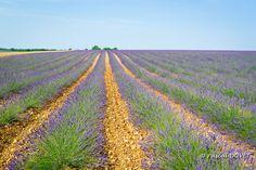 LVB06 - Lavandins sur le plateau de Valensole - Alpes de Haute Provence 04