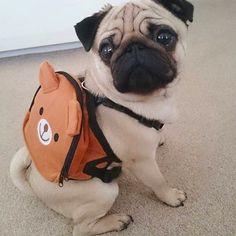 Ready to hit the road Follow @percypug27 - Tag #TheTomCoteShow your #pug pics…