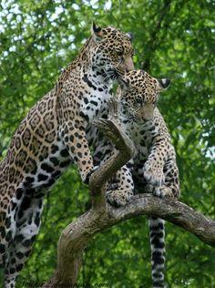 jaguarssoul:  by Twins72