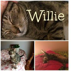 #Montreal cat rescue ~ May 7, 2017 ♥ AVAILABLE FOR ADOPTION is this sweet tiger boy named WILLIE <3 If you would like to adopt one-year old Willie please email  montrealcause4paws@gmail.com + www.facebook.com/cause4paws