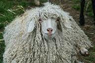 Our Rastafarian friend from Jamaica ~ Farm Animals, Cute Animals, Baa Baa Black Sheep, Sheep Breeds, Sheep And Lamb, Counting Sheep, Cute Animal Pictures, Sheep Wool, Livestock