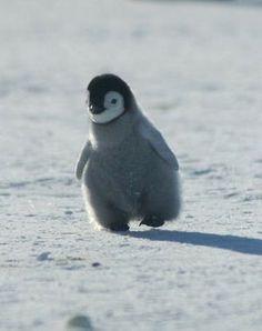 Baby penguin running! So cute