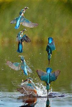 kingfishers_300