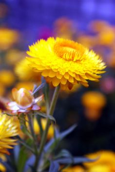 A strawflower beauty by RachaelMc, via Flickr