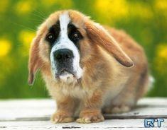 Saint Bunnard. | 21 Cute But Vaguely Unsettling Animal Mashups
