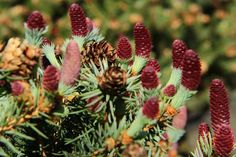 Picea pungens 'Ruby Teardrops'- via sam-pratt's photobucket