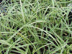 Carex    gemakkelijk en niet woekerend  gras dat ook wintergroen is heeft een frisse groene kleur die mooi afsteekt bij  bloeiende planten,  volle zon tot halfschaduw is prima