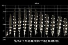 The U.S. Fish Fish and Wildlife Service  Forensics Laboratory FEATHER ATLAS. An excellent source for feather identification
