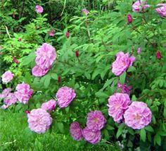 Thérèse Bugnet Rose is one of my favorite cottage roses