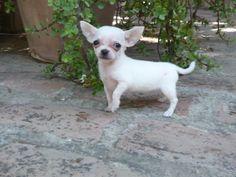Chihuahua (chiguagua) toy - Criadero Cantillana