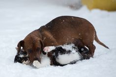 {winter playtime!} doxie and kitty action shot. I'm pretty sure the cat is kissing the dog, too. :)