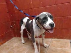 Animal ID: A4765583  My name is Trina and I'm an approximately 3 year old female pit bull. I am not yet spayed. I have been at the Downey Animal Care Center since October 11, 2014. I am available on October 16, 2014. You can visit me at my temporary home at D526. — https://www.facebook.com/photo.php?fbid=549548325175576&set=pb.100003612410268.-2207520000.1414442707.&type=3&theater