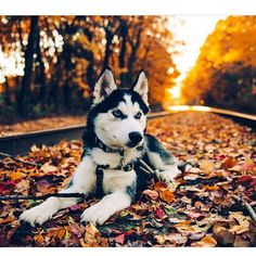Autumn Husky More