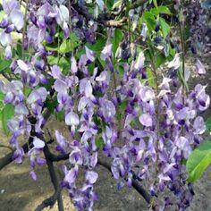 10PCS-Floribunda-Chinese-Wisteria-Tree-Vine-Sinensis-Seeds-Flower-Seed-DIY