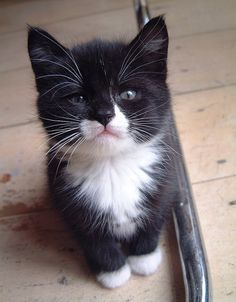 .cute tuxedo kitten with black nose