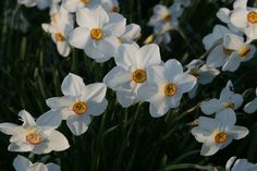 Narcissus 'Actaea' (Poeticus daffodil) an awarded old-fashioned variety with lovely scent. Daffodil Bulbs, Daffodils, Cut Flowers, Colorful Flowers, Yellow Cups, Moon Garden, April Flower, Planting Flowers, Flower Colour