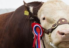 2013 Great Yorkshire Show in Harrogate. #Yorkshire #Show #Cow