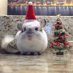 Mr. Bagel The Chinchilla Looking Adorable In His Santa Hat...☺☺☺  ❤ http://smallpetselect.com/ ❤