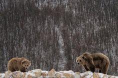 Dos osos pardos recién rescatados de la cautividad y liberados en el Santuario de Osos de Mramor, Kosovo (Valdrin Xhemai, 2017)