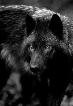 """""""We have doomed the wolf not for what it is, but for what we deliberately and mistakenly perceive it to be –the mythologized epitome of a savage ruthless killer – which is, in reality, no more than a reflected image of ourself.""""  ― Farley Mowat, Never Cry Wolf"""