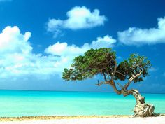 Divi-divi tree on Aruba ~  pictures of Aruba Beaches