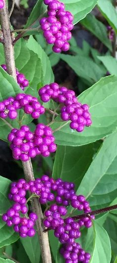 Callicarpa dichotoma 'Early Amethyst' Commonly known as the Beautyberry Bush. A must have shrub in the garden. Easy to grow with great color in the fall.