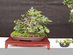 fig carica bonsai | 10-05-2008 | Visto 4276 veces Tamaño original
