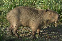 Argentina+Fauna | Fauna Argentina: El carpincho o capibara. - Taringa!