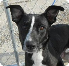 Gone   please Save West Memphis, AR - Terrier (Unknown Type, Small)/Border Collie Mix. Meet Kevi a Dog for Adoption.